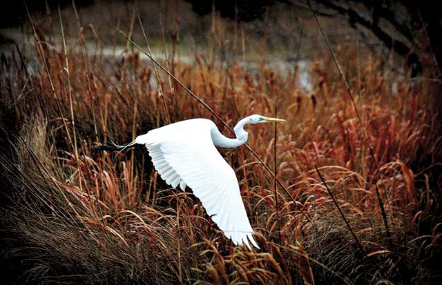Great-Egret-in-Flight--Ken-Newman-986-6068-