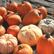 Navajo Nation pumpkins made trip to Chester