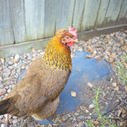 County offers information about backyard chickens