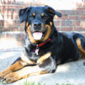 Chester couple trains Rottweilers as therapy dogs